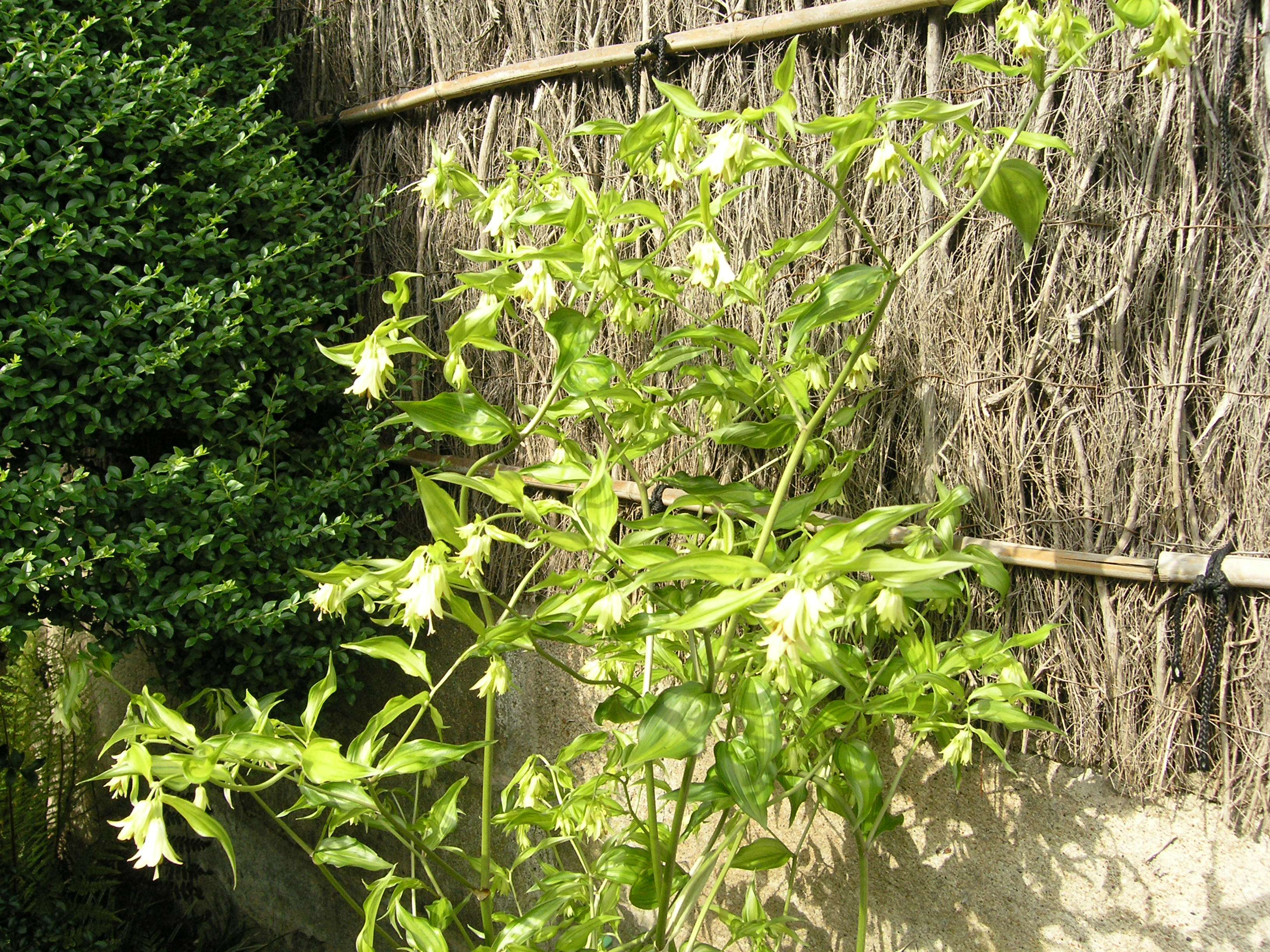 Disporum cantoniense